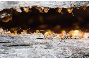 Comment éliminer les termites du bois ?