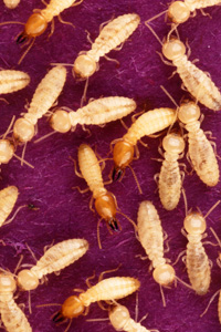 Diagnostic Termite - Insecte xylophage
